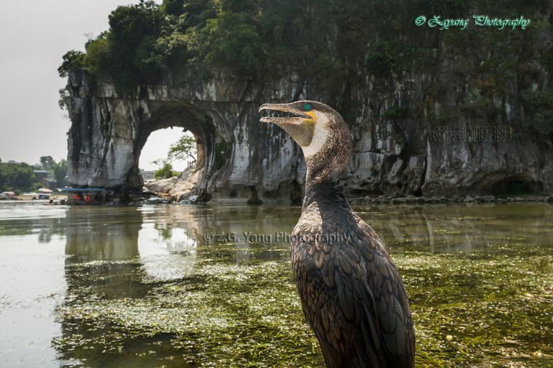 cormorant-at-elephant-hill