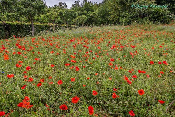 Poppy fields in Giverny France