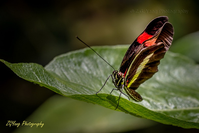butterfly-in-passiflo-hoeve