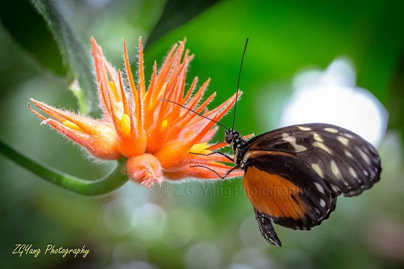 butterfly-in-passiflorahoeve