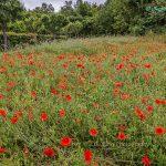 法国莫奈故居附近的罂粟花田野