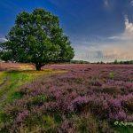 荷兰鲁斯德雷赫特树林外的石楠花自然保护区